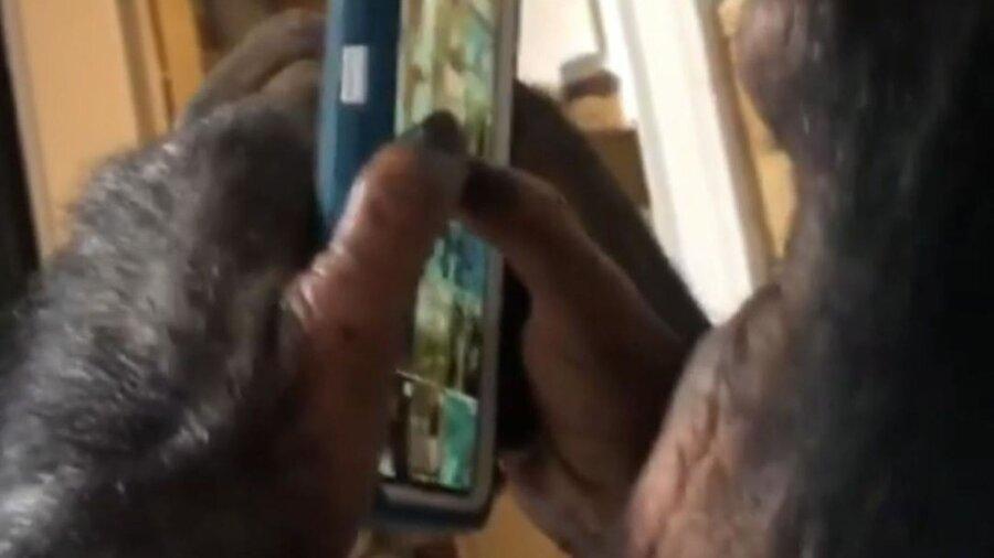 فیلم، شمپانزه حرفه ای اینستاگرام
