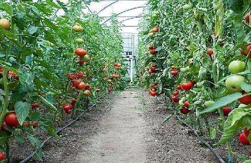 خوداتکایی 50 درصدی در تولید بذر سبزی و صیفی گلخانه ای تا سال 1405