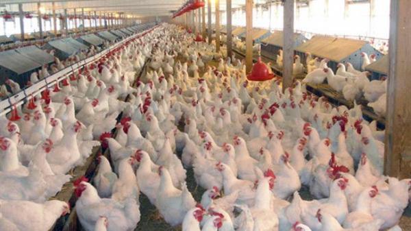 واردات 50 هزار تن مرغ تنظیم بازاری تصویب شد
